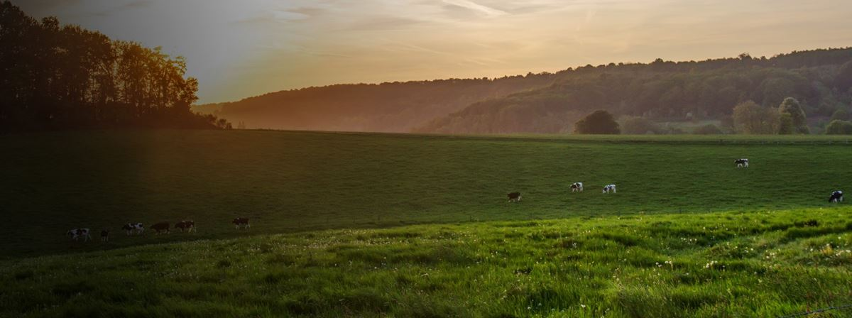 Cows in a field in the early morning