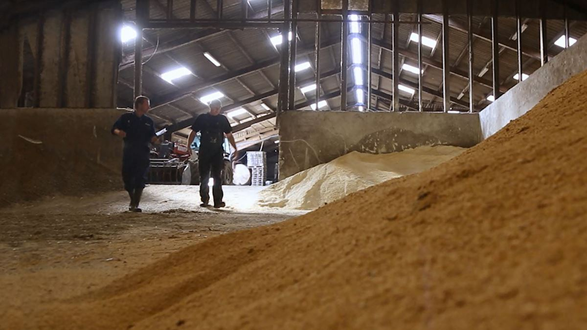 Farmers looking at a pile of grain