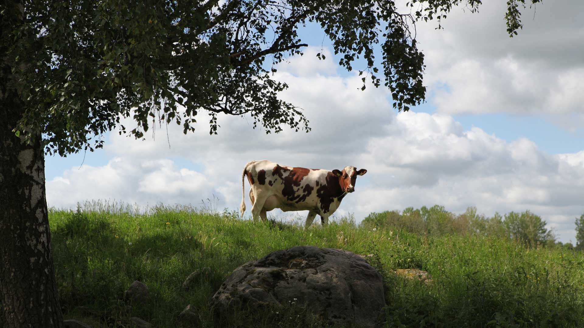 A cow standing on a hill