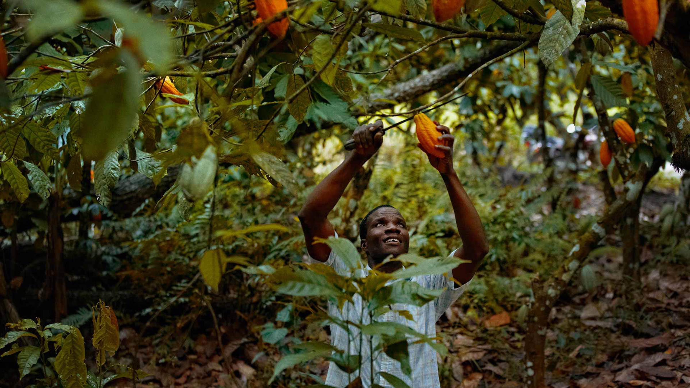 A man cutting down a cocoa pod from a tree